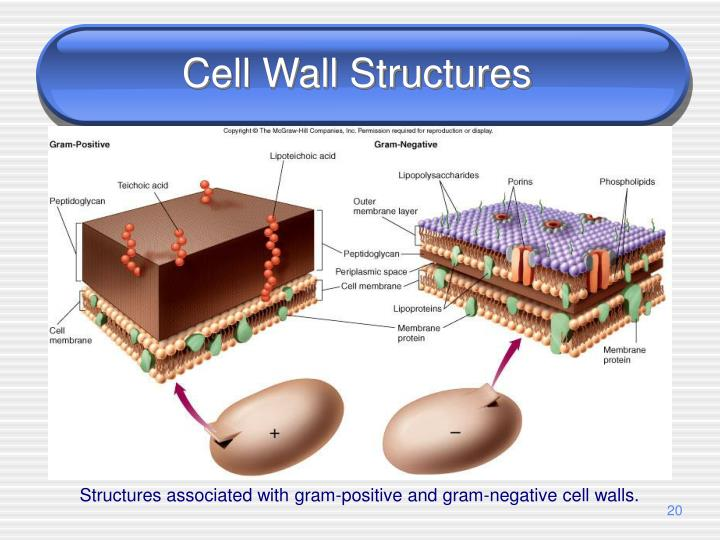 Cell Wall Structures