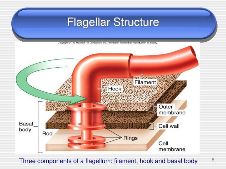 Flagellar Structure