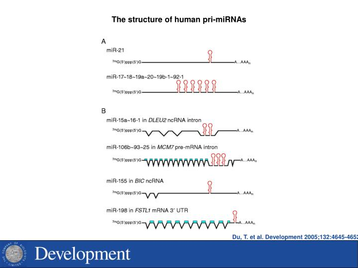 The structure of human pri-miRNAs