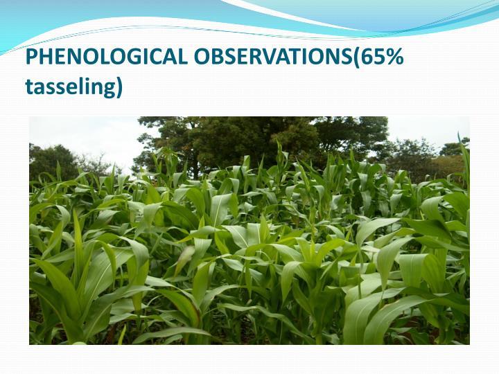 PHENOLOGICAL OBSERVATIONS(65% tasseling)