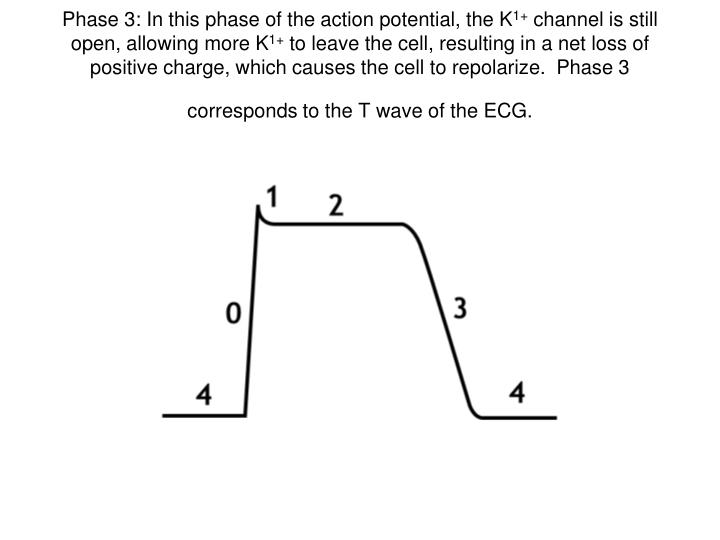 Phase 3: In this phase of the action potential, the K
