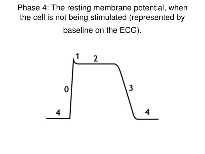 Phase 4: The resting membrane potential, when the cell is not being stimulated (represented by baseline on the ECG).