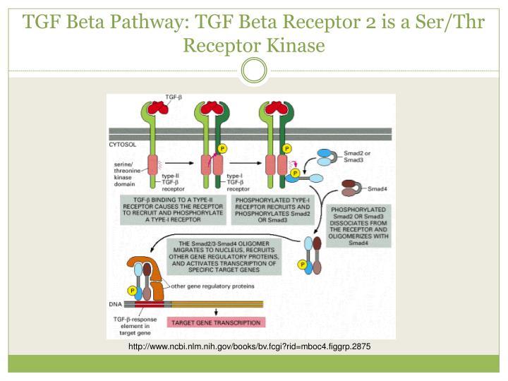 TGF Beta Pathway: TGF Beta Receptor 2 is a Ser/Thr Receptor Kinase