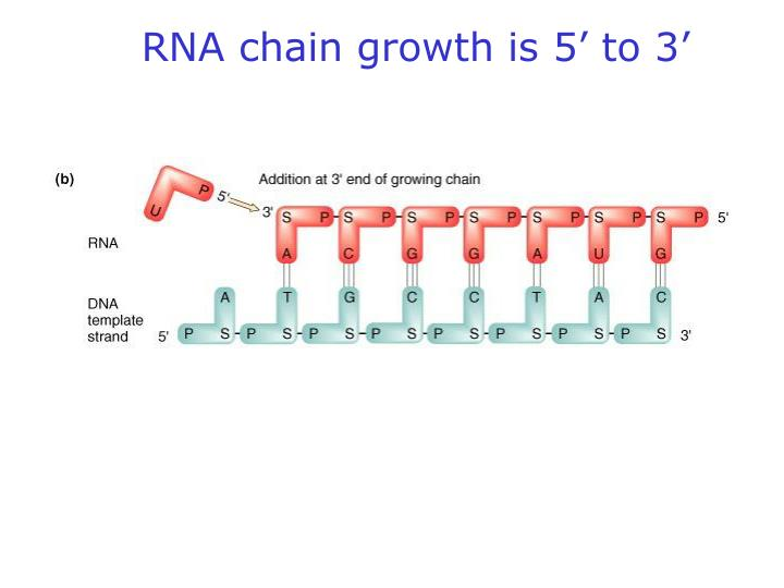 RNA chain growth is 5