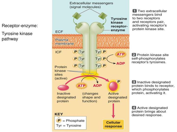 Receptor-enzyme: