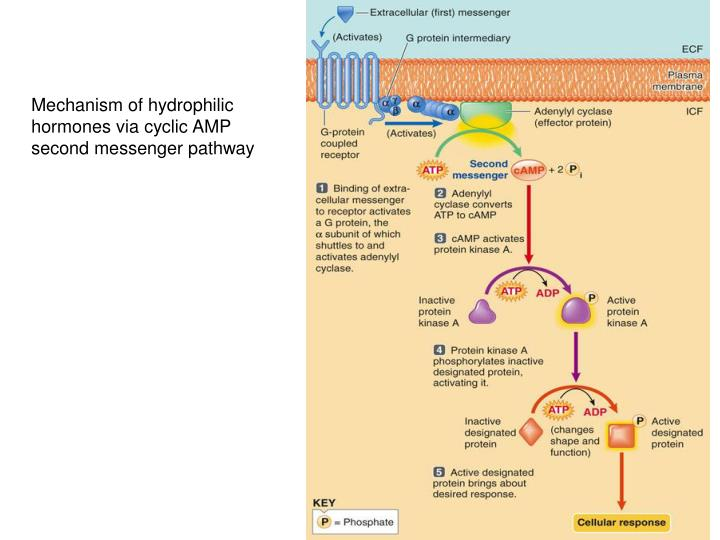 Mechanism of hydrophilic hormones via cyclic AMP second messenger pathway