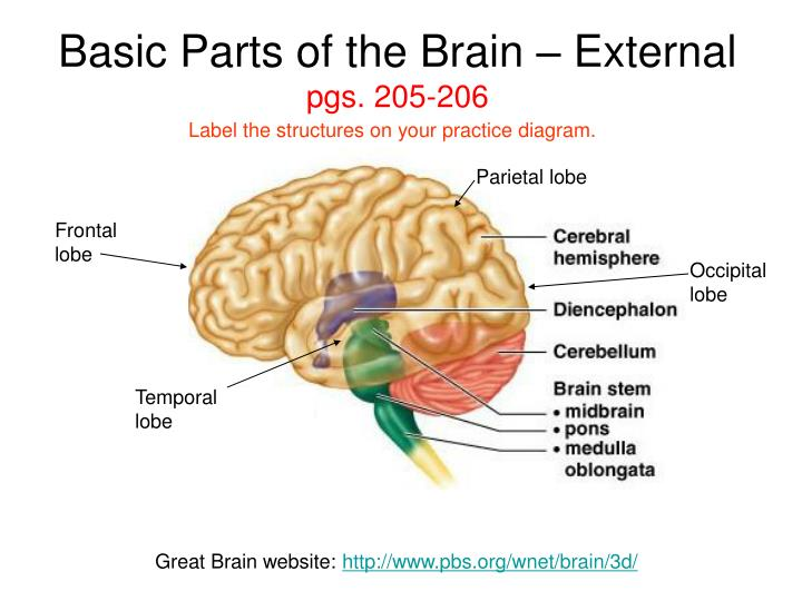 Basic Parts of the Brain – External