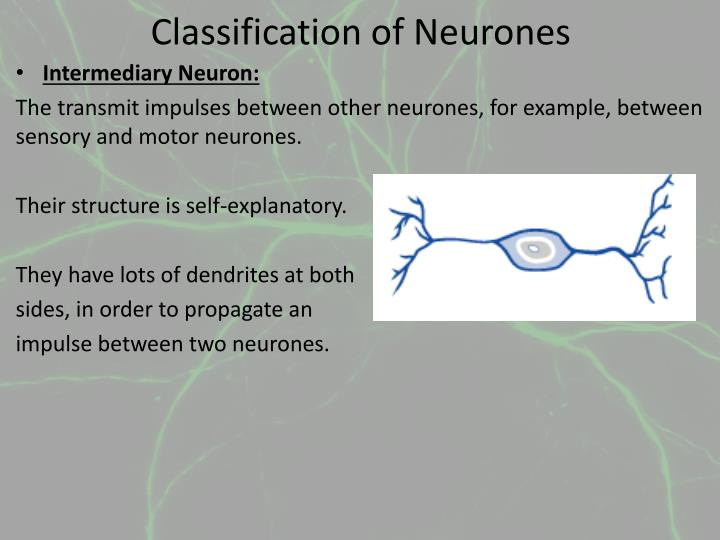 Classification of Neurones