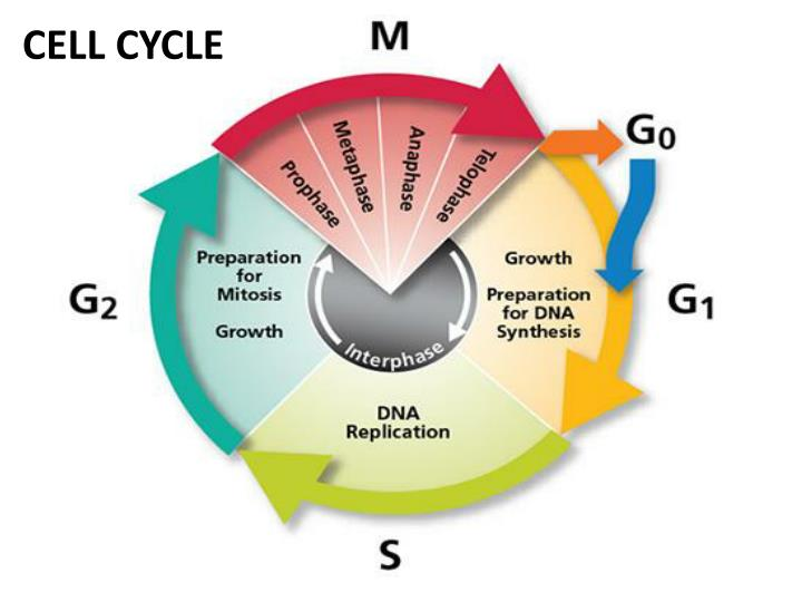 Mingle2 dating phases of meiosis