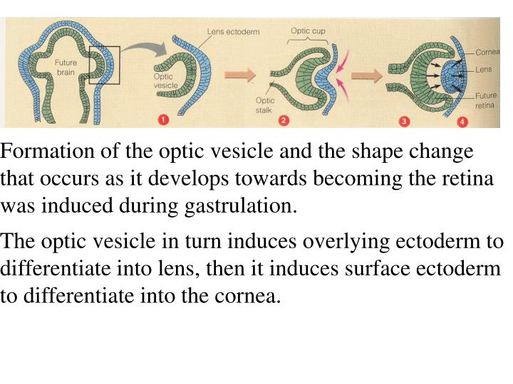 Formation of the optic vesicle and the shape change that occurs as it develops towards becoming the retina was induced during gastrulation.