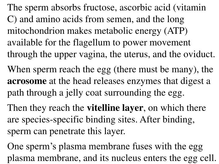 The sperm absorbs fructose, ascorbic acid (vitamin C) and amino acids from semen, and the long mitochondrion makes metabolic energy (ATP) available for the flagellum to power movement through the upper vagina, the uterus, and the oviduct.