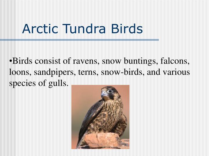 Arctic Tundra Birds