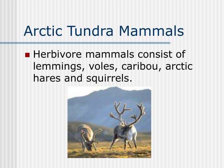 Arctic Tundra Mammals