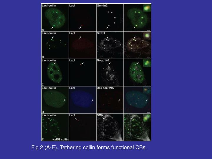 Fig 2 (A-E). Tethering coilin forms functional CBs.