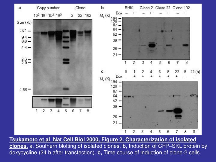 Tsukamoto et al  Nat Cell Biol 2000, Figure 2. Characterization of isolated clones.