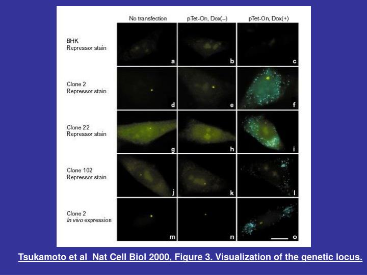 Tsukamoto et al  Nat Cell Biol 2000, Figure 3.