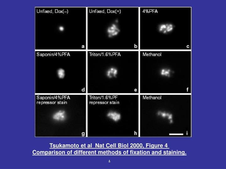 Tsukamoto et al  Nat Cell Biol 2000, Figure 4
