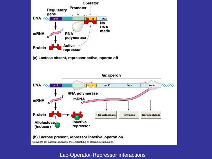 Lac-Operator-Repressor interactions