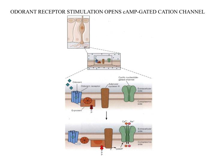 ODORANT RECEPTOR STIMULATION OPENS cAMP-GATED CATION CHANNEL