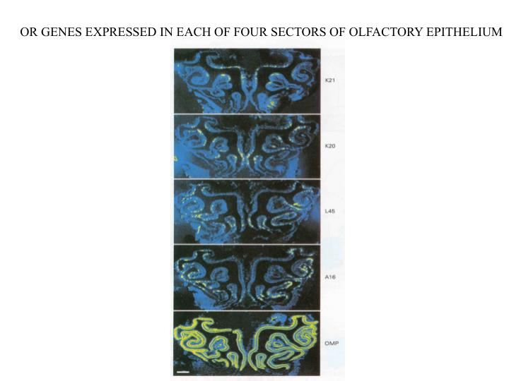 OR GENES EXPRESSED IN EACH OF FOUR SECTORS OF OLFACTORY EPITHELIUM
