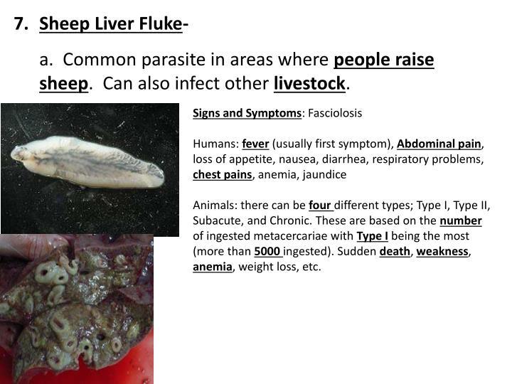 Sheep Liver Fluke