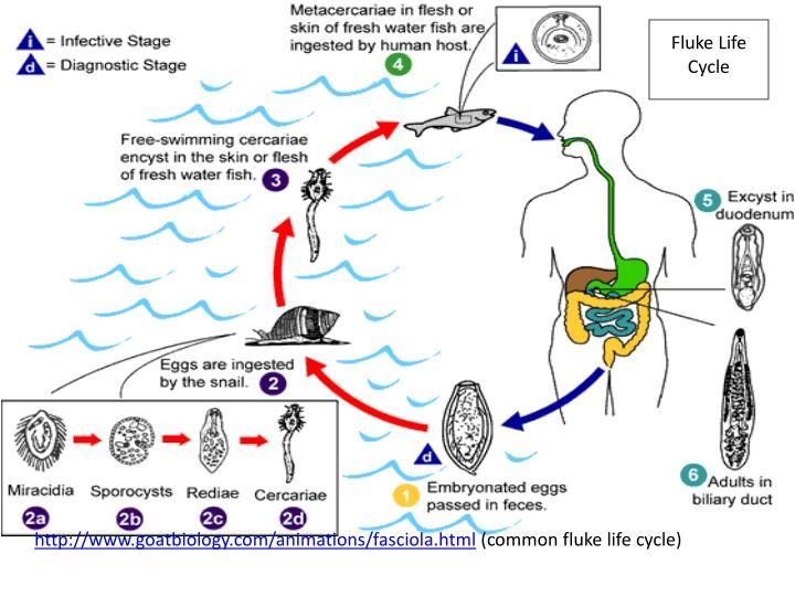 Fluke Life Cycle