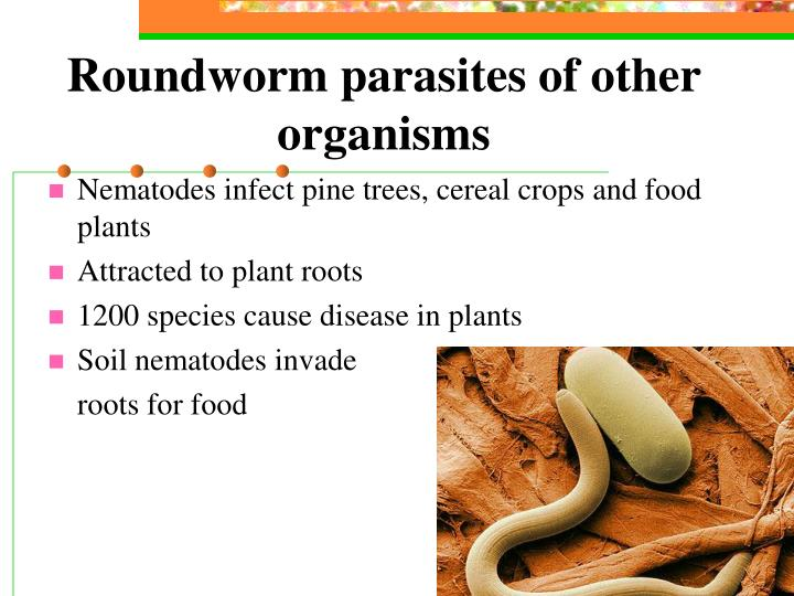 roundworms nematodes