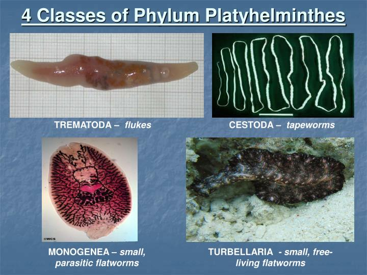 4 classes of phylum platyhelminthes