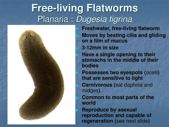 Free-living Flatworms