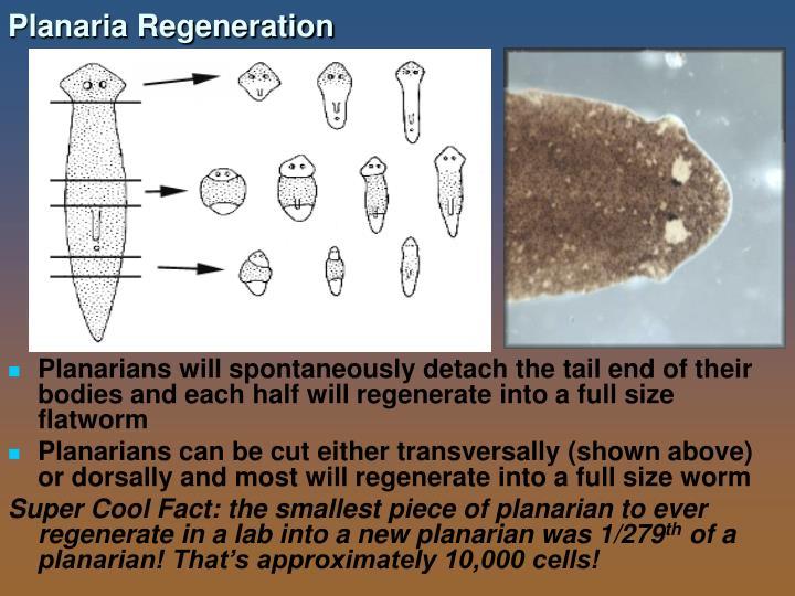 Planaria Regeneration