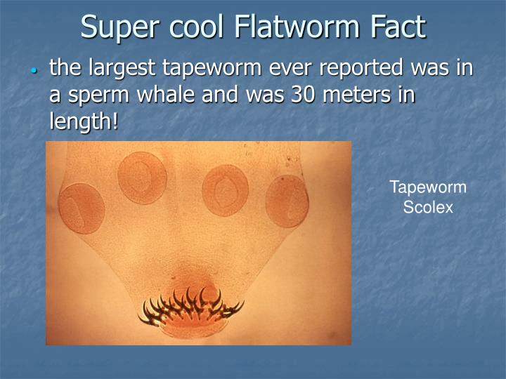 Super cool Flatworm Fact