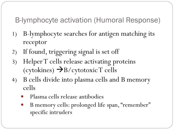 B-lymphocyte activation (