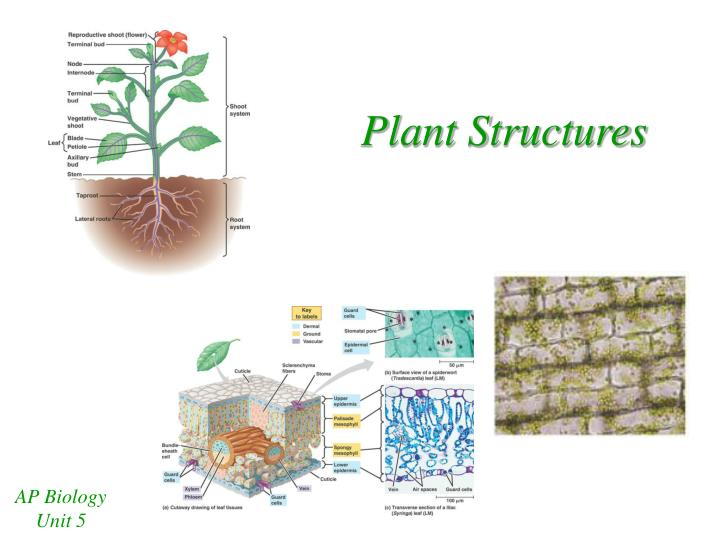 plant ap biology essays 2014 ap ® biology free-response questions trichomes are hairlike outgrowths of the epidermis of plants that are thought to provide protection against being.