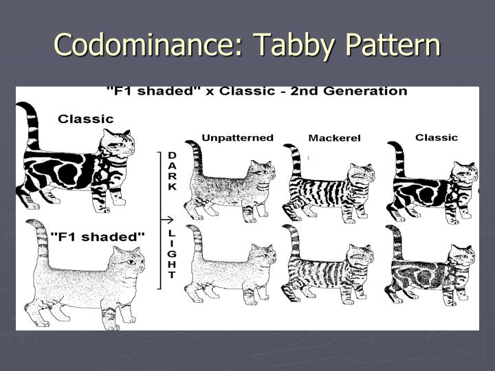 Codominance: Tabby Pattern
