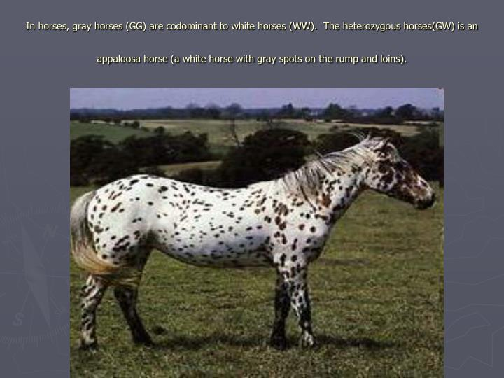 In horses, gray horses (GG) are codominant to white horses (WW).  The heterozygous horses(GW) is an appaloosa horse (a white horse with gray spots on the rump and loins).