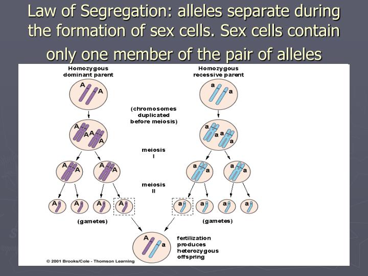 Law of Segregation: alleles separate during the formation of sex cells. Sex cells contain only one member of the pair of alleles