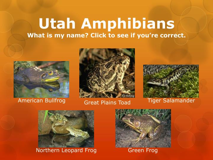 Utah amphibians what is my name click to see if you re correct