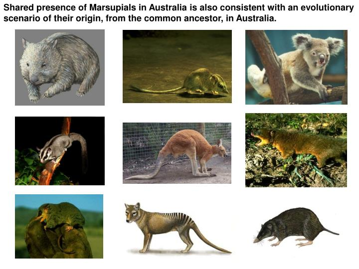 Shared presence of Marsupials in Australia is also consistent with an evolutionary scenario of their origin, from the common ancestor, in Australia.