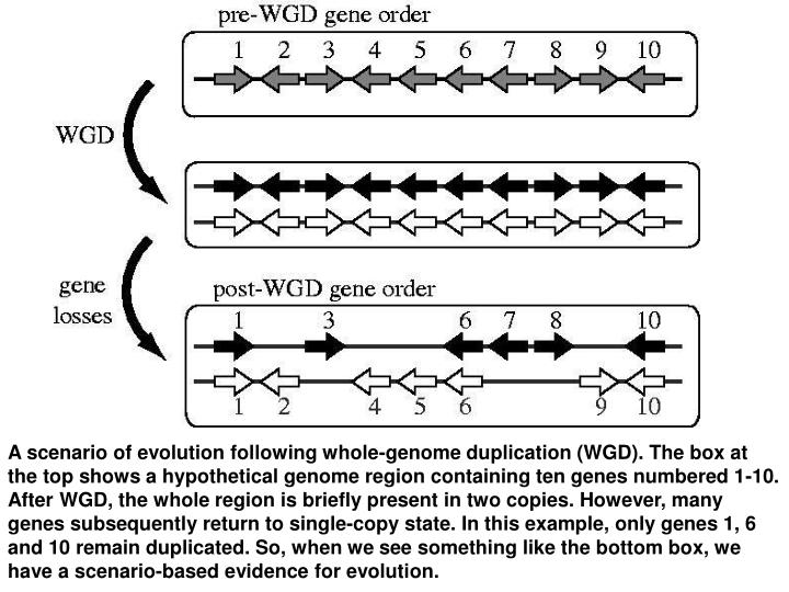 A scenario of evolution following whole-genome duplication (WGD). The box at the top shows a hypothetical genome region containing ten genes numbered 1-10. After WGD, the whole region is briefly present in two copies. However, many genes subsequently return to single-copy state. In this example, only genes 1, 6 and 10 remain duplicated. So, when we see something like the bottom box, we have a scenario-based evidence for evolution.