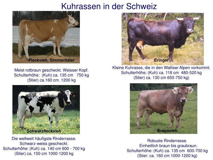 Kuhrassen in der Schweiz