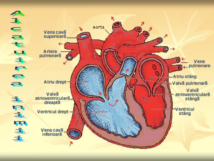 alcatuirea sistemului circulator