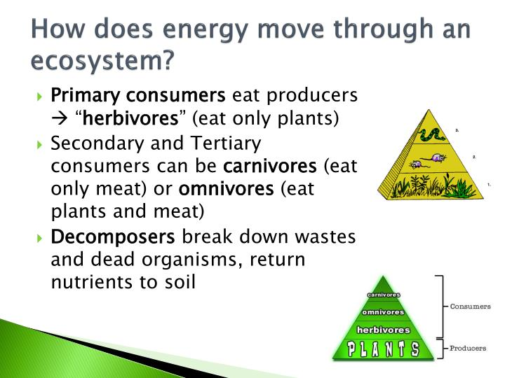 How does energy move through an ecosystem?