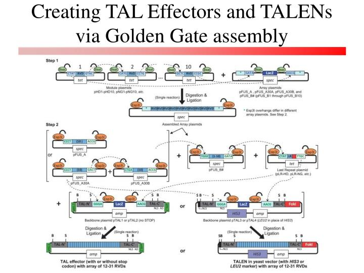 Creating TAL Effectors and TALENs via Golden Gate assembly