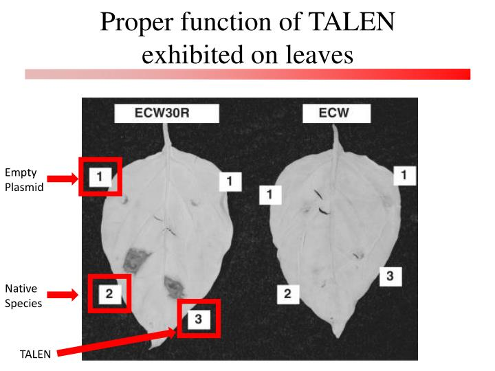 Proper function of TALEN exhibited on leaves