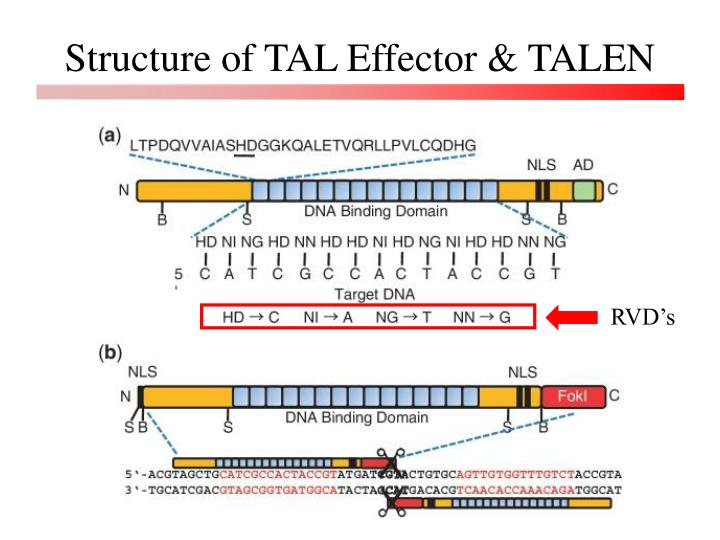 Structure of TAL Effector & TALEN