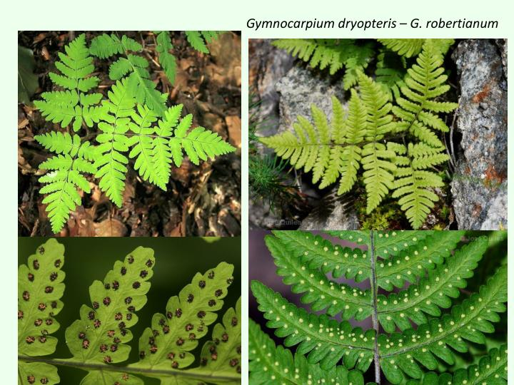 Gymnocarpium