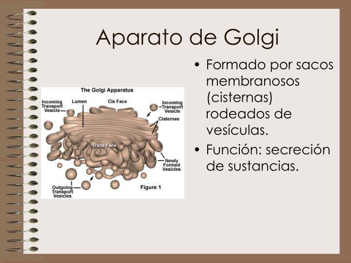 Formado por sacos membranosos (cisternas) rodeados de vesículas.