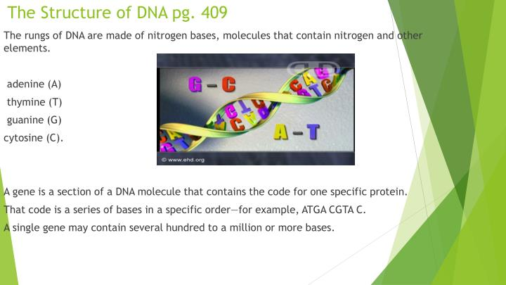 The Structure of DNA pg. 409
