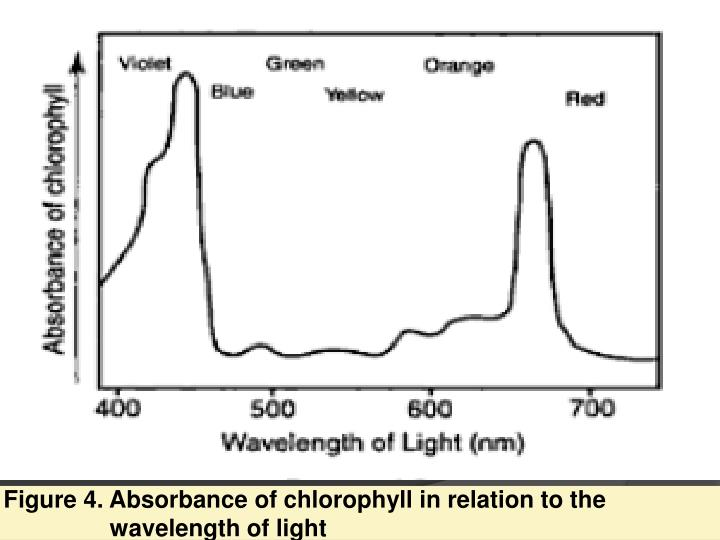 Figure 4. Absorbance of chlorophyll in relation to the