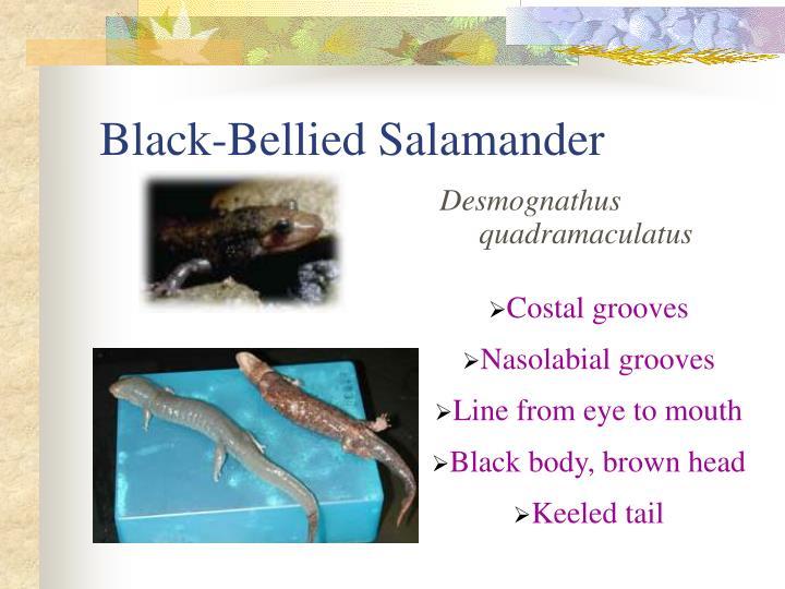 Black-Bellied Salamander